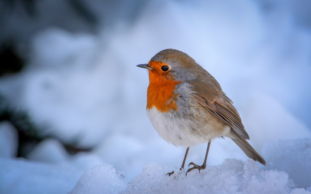 Animal Names In French — Robin