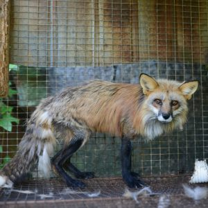 A starving red fox at a fox and mink farm