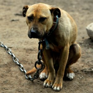 Dog outside with chain