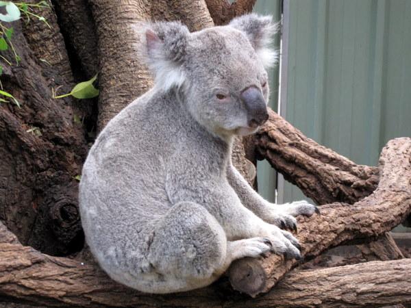 Koalas everywhere!