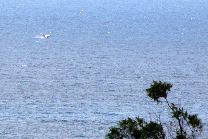 A humpback whale shortly after arriving!