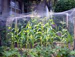 corn_080722