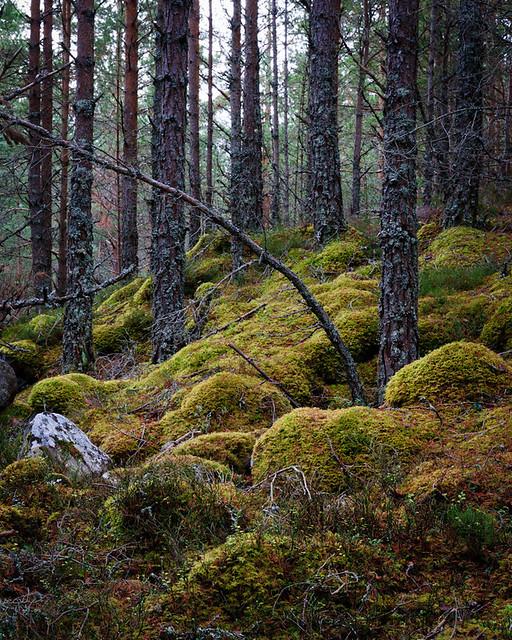 Rothiemurchus Forest II