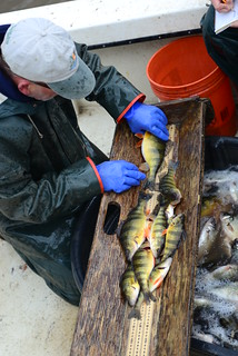 Photo by Joe Evans of yellow perch survey