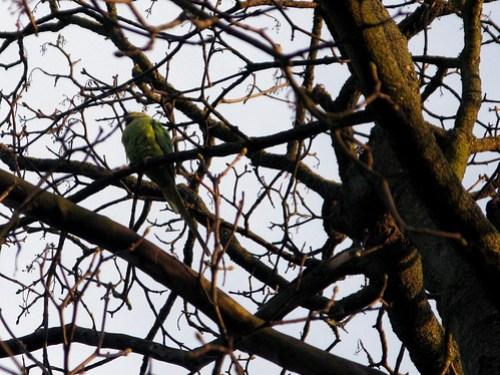 winter parrot