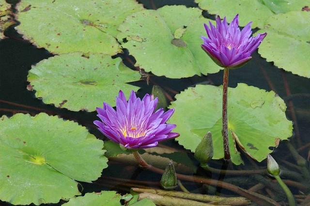 睡蓮科 睡蓮屬 睡蓮 (紫) 科博館   翁明毅   Flickr