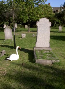 Swan in mourning
