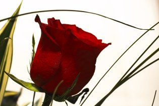 Red rose closeup (Birthday Flower )