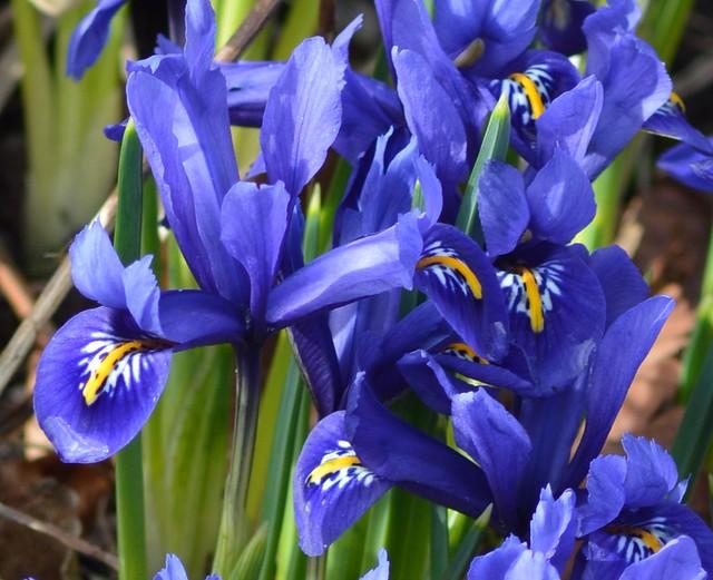 Iris reticulata up close