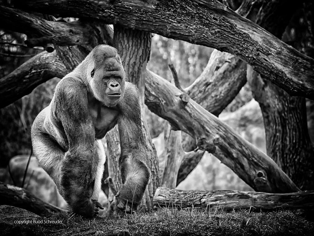 blijdorp zoo rotterdam bokito gorilla 20120313 nd3 826 flickr