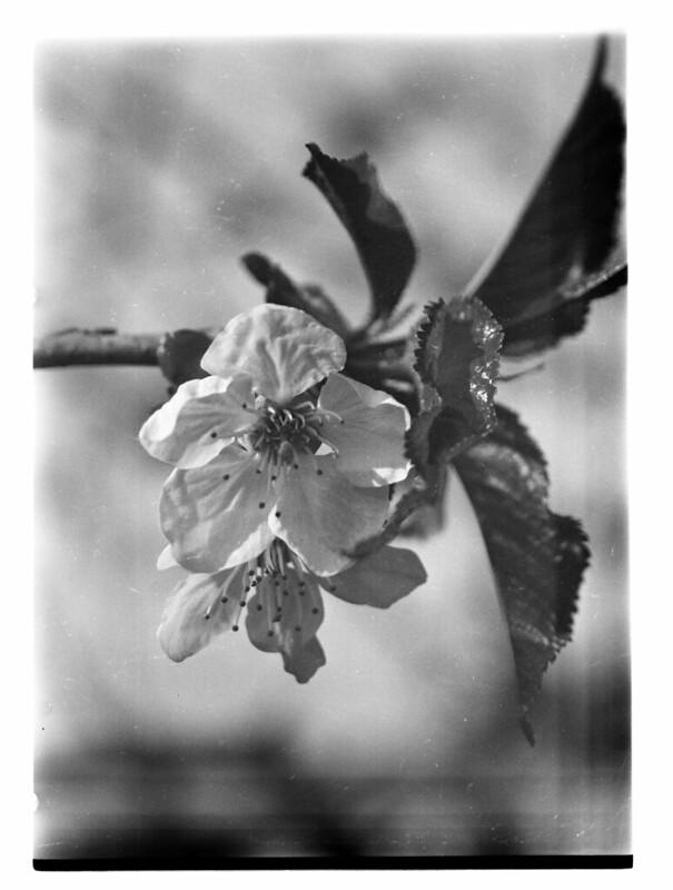 4x5 Still Life - Cherry Blossom