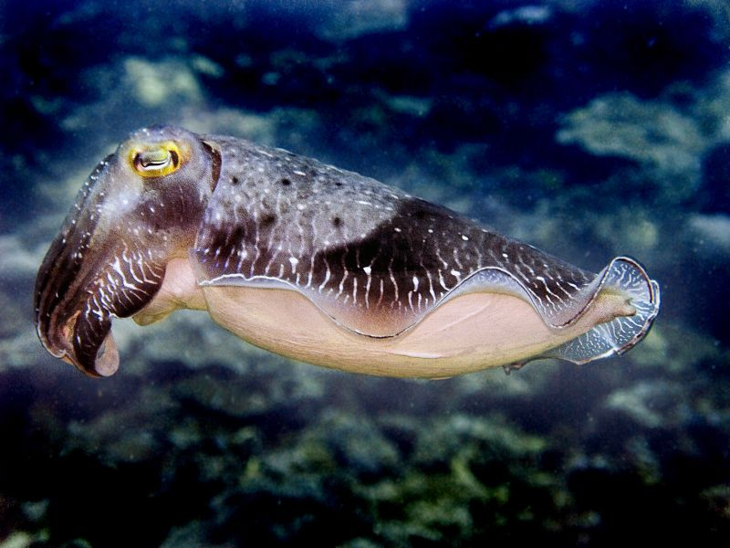 Cuttlefish (Broadclub Cuttlefish) - Sepia latimanus - P6042161