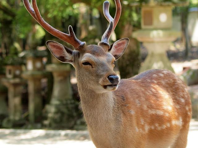 Shika deer