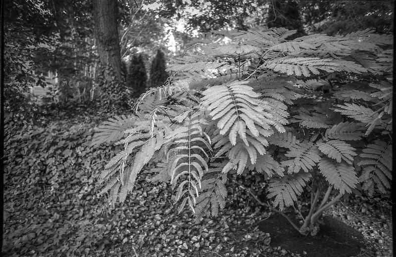 mimosa tree, West Asheville, North Carolina, Olympus XA4, Kodak TMAX 400, Ilford Ilfosol 3 developer, 6.30.18