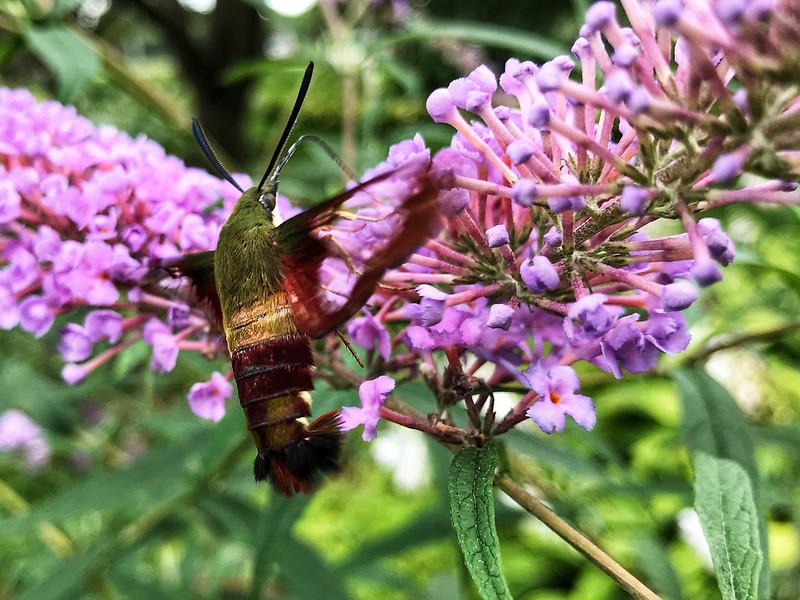 Hemaris thysbe Hummingbird moth