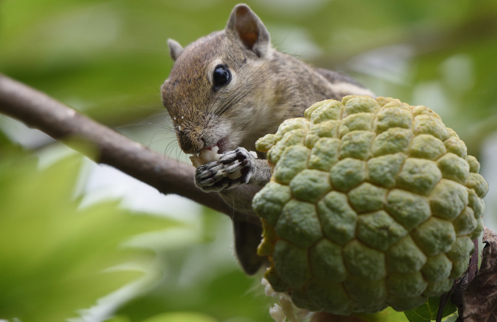 Indian palm squirrel feeding on custard apple
