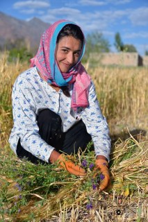 Zood Khun: Afta, Dilawar Abbas wife harvesting barley. Flowers and thorny plants mixed with crop evidence a culture free of phytosanitary products © Bernard Grua