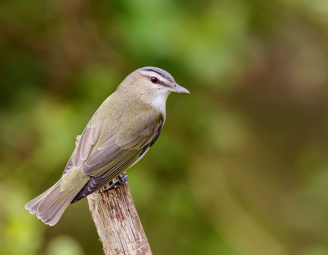 Return of the Birds - In the Hemlocks with the Red-eyed Vireo
