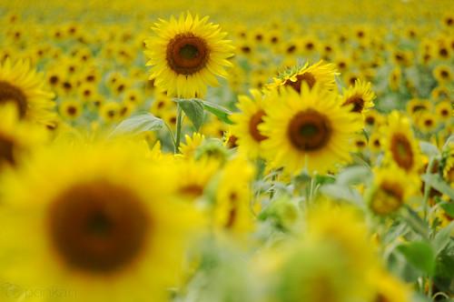 Nanko Sunflower Park
