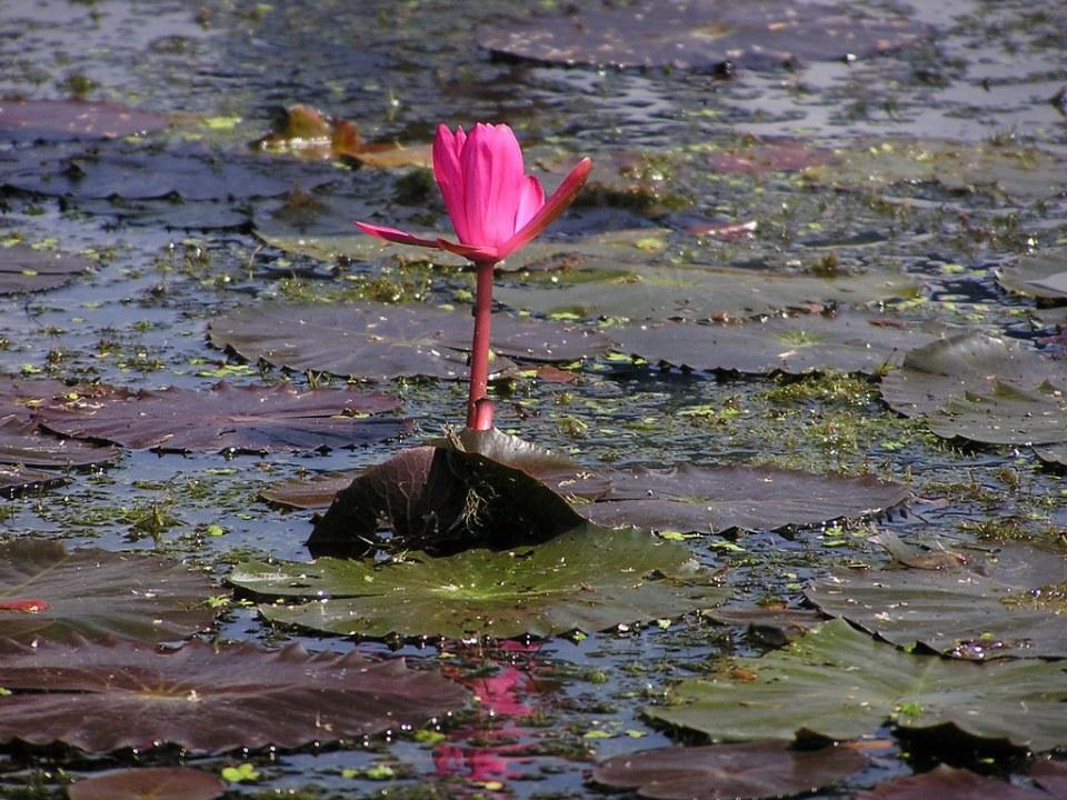 nenúfar rojo planta acuatica flores Myanmar Birmania 02