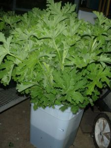 geranium, scented, tall