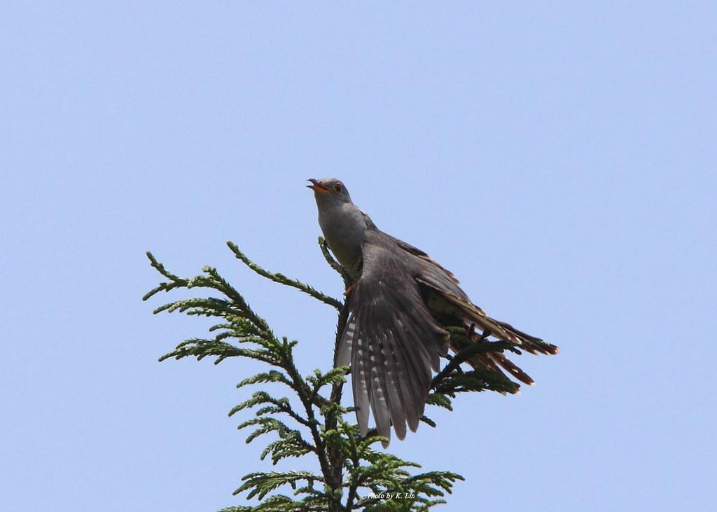 中杜鵑-Cuckoo   學名:Cuculus saturatus 英名:Himalayan Cuckoo 俗名:公孫鳥…   Flickr