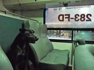 新店客運650上的黑狗/a dog on the Hintien Bus 650