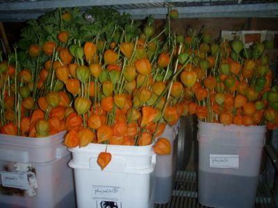 chinese lantern, orange