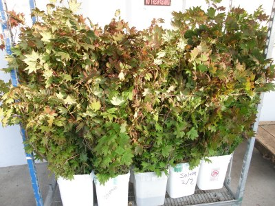 vine maple, medium