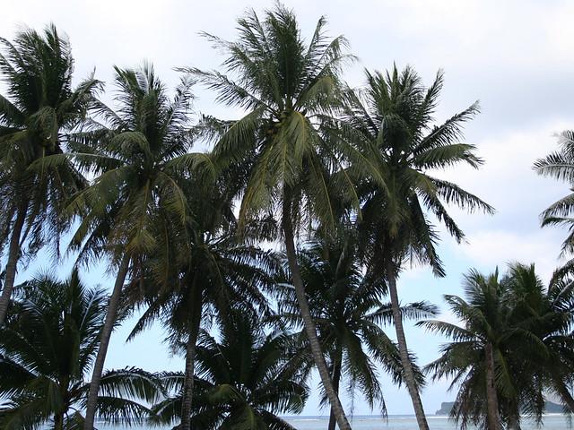 Coconut Trees Along East Agana