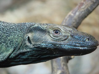 Chester Zoo: Asian Water Monitor