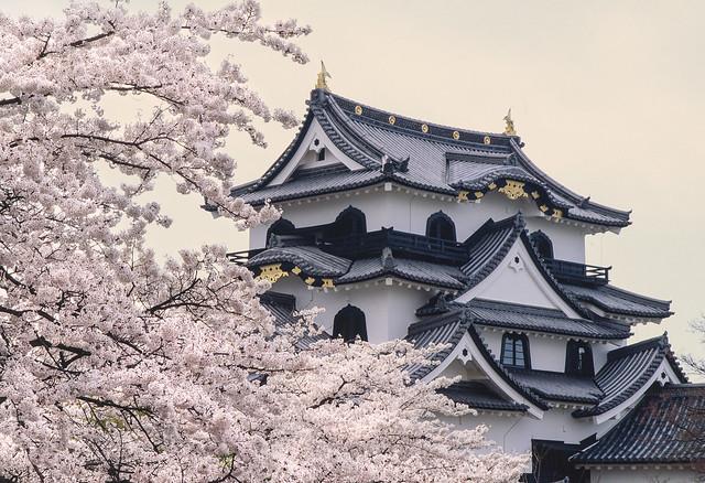 Cherry Blossom Hikone castle