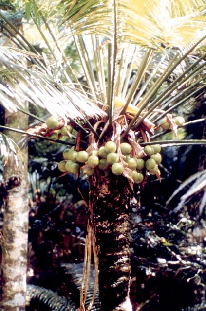 Fadang, Cycas micronesica