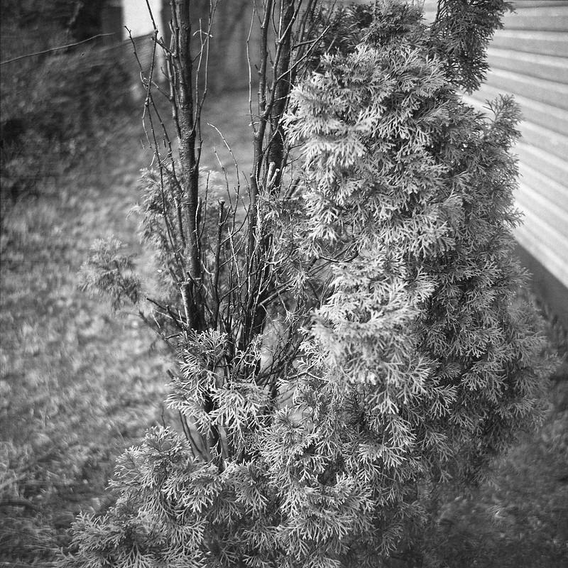 drought survivor, shrub, conifer, studio, yard, Asheville, NC, Zeiss Ikon Nettar 75mm f-4.5, Fomapan 200, Kodak TMax Developer, 2.28.17