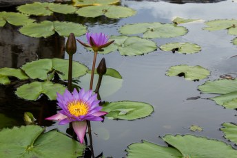 paarse water lelies