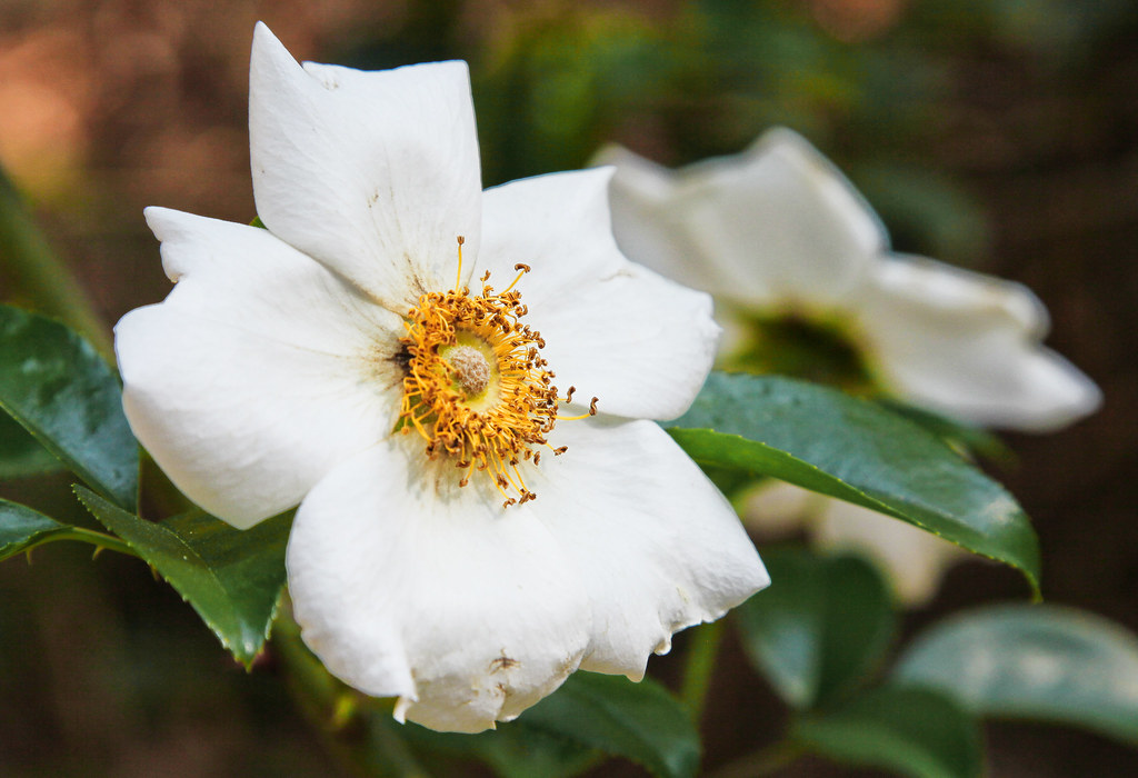 Georgia State Flower The Cherokee Rose General Coffee Sta Flickr