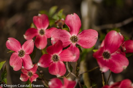 Flowering Dogwood-7