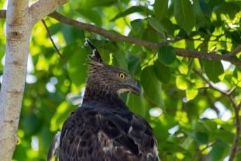 de adelaar havik