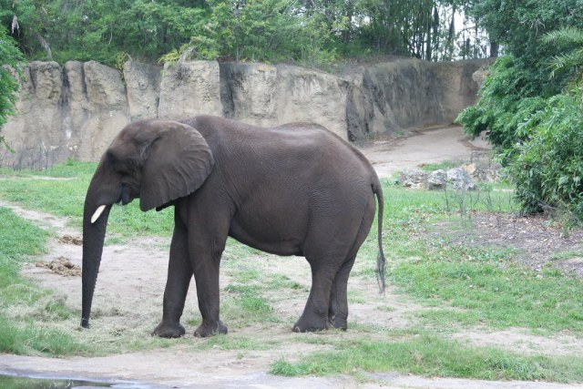 Maclean the African Elephant on Kilimanjaro Safari - Animal Kingdom - Walt Disney World