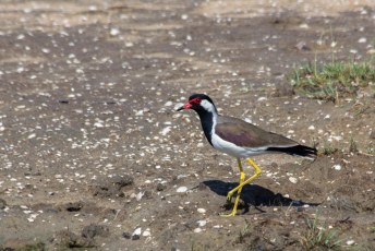 de Red-wattled Lapwing oftewel de Vanellus indicus