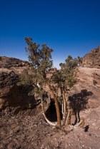 tree of Petra II