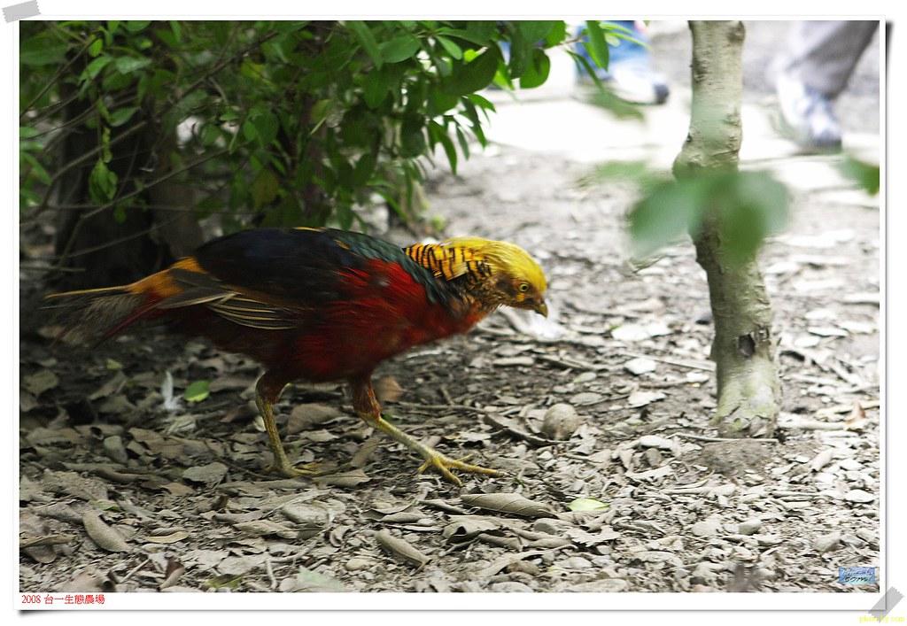 soul062黃腹錦雞   黃腹錦雞,為紅腹錦雞的變種 俗名:黃金雞   jimmy chuang   Flickr