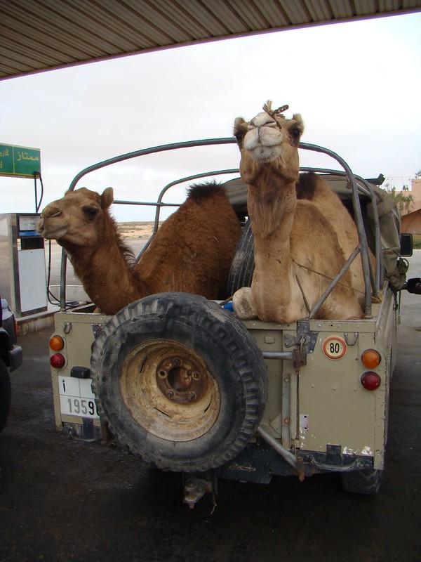Camellos dromedarios en un Jeep Desierto del Sahara Occidental 03