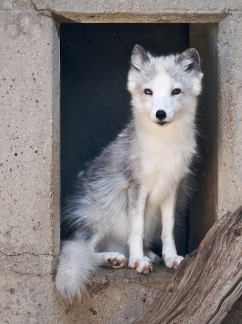 The fox in the window