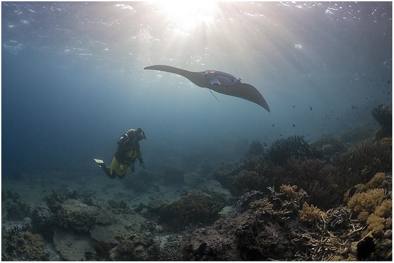 Diver & Manta - Komodo