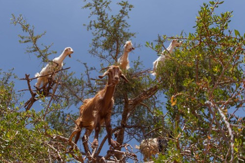 https://www.twin-loc.fr  Essaouira - Chèvres dans les arganiers - Maroc / Goats in Argan - Morocco - Photo Image Photography - Huile d'Argan Argan oil www.supercar-roadtrip.fr