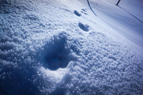 Canine footprints...