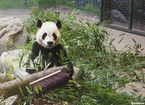 da mao the panda - toronto zoo - 16