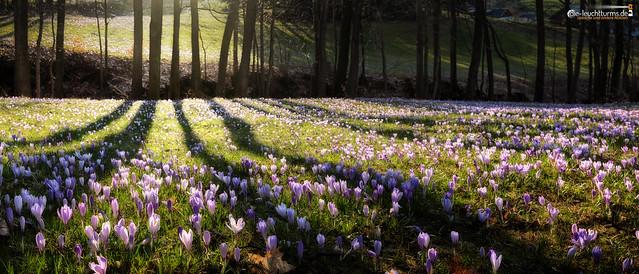 Crocus meadows at woodlands edge