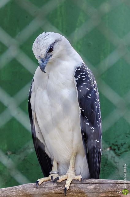 Gavião-pombo-pequeno
